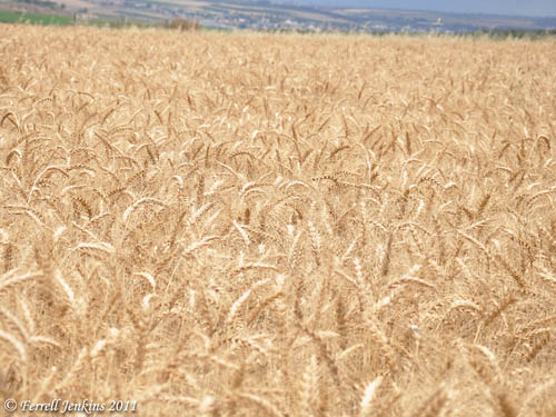 Wheat ready to be harvested. Near En-Dor and Mount Tabor. May 13